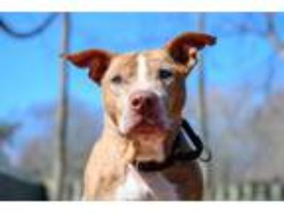 Adopt Mr. Pricklepants a Pit Bull Terrier