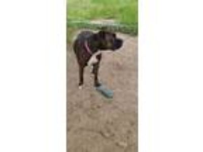 Adopt LYLA a Brown/Chocolate American Pit Bull Terrier / Mixed dog in Inverness