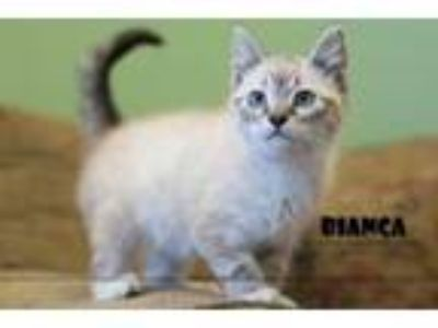 Adopt Bianca a Siamese, Domestic Short Hair