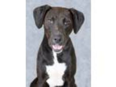 Adopt Huckleberry a Black - with White Labrador Retriever / Mixed dog in