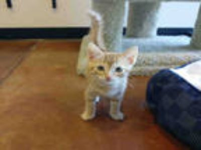 Adopt BLAZE a Brown or Chocolate (Mostly) Domestic Shorthair / Mixed (short
