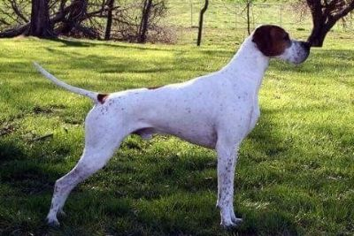 Pointer Puppies - Grand Champion Parents OFA Certified for health