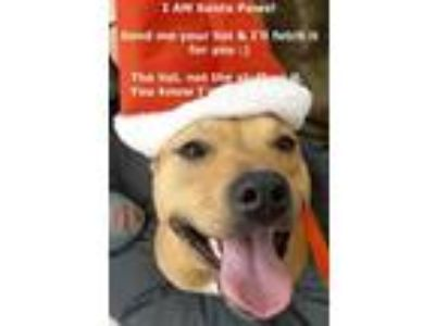 Adopt Fenton a Carolina Dog, Staffordshire Bull Terrier