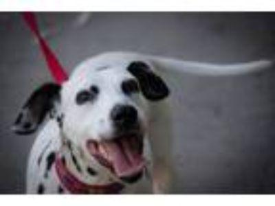 Adopt Teena - Needs Sponsors Only a Dalmatian
