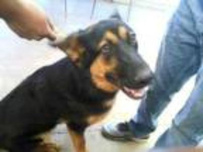 Adopt BRYAN a German Shepherd Dog