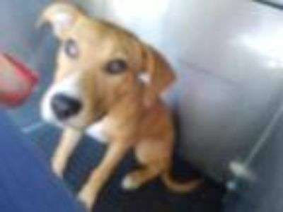 Adopt 41865794 a Tan/Yellow/Fawn Labrador Retriever / Mixed dog in Land O'Lakes