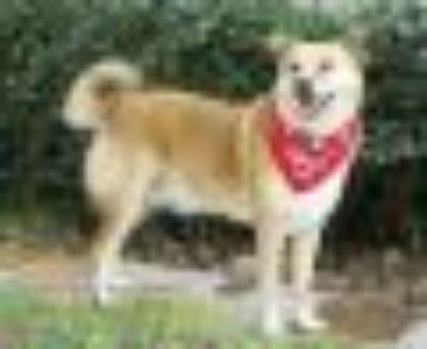 Maggie Sue Golden Retriever Dog