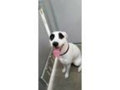 Adopt Spot a White Terrier (Unknown Type, Small) / Mixed dog in Ottumwa