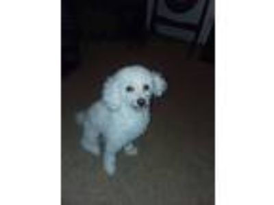 Adopt Harley a White Poodle (Toy or Tea Cup) dog in Rocky Mount, NC (25252265)