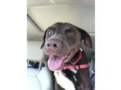 Adopt Layla a Brown/Chocolate Labrador Retriever / Mixed dog in Annapolis
