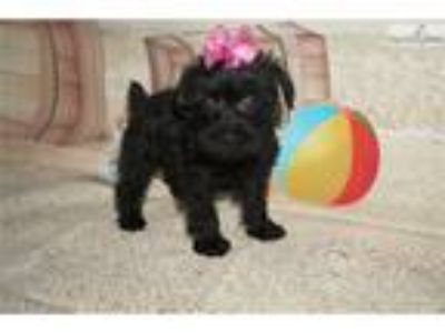 Maggie Sweetest Black Female Schnoodle in Town!