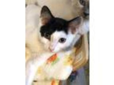 Adopt Spot a White Domestic Shorthair / Domestic Shorthair / Mixed cat in Santa