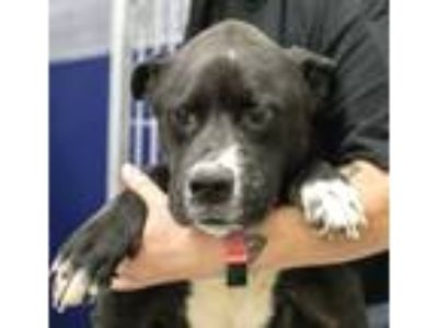Adopt Annie Mae a Black - with White Labrador Retriever / Mixed dog in