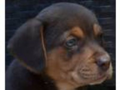 Adopt Blair's Puppies: Justin a Doberman Pinscher, Retriever