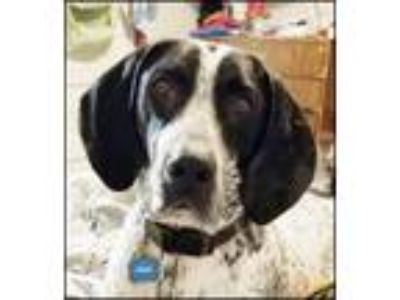 Adopt Gunner a German Shorthaired Pointer, Bluetick Coonhound