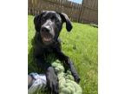Adopt Otis a Black Great Dane / Labrador Retriever dog in Philomath