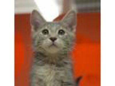 Adopt Baby Doll a Gray, Blue or Silver Tabby Domestic Shorthair / Mixed (short
