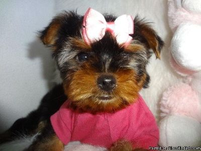 Tiny toy yorkie terrier ready Male and female available.