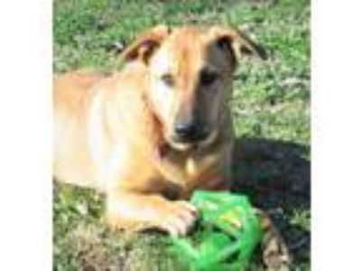 Adopt Iris a Red/Golden/Orange/Chestnut - with Black German Shepherd Dog /