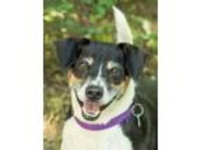 Adopt Sparky a Jack Russell Terrier, Terrier