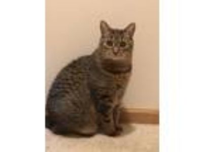 Adopt Chester a Brown or Chocolate (Mostly) Domestic Shorthair cat in Franklin