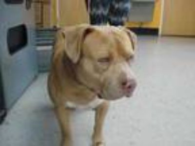 Adopt Stray - RockCrusher avail 5-24 a Tan/Yellow/Fawn American Pit Bull Terrier