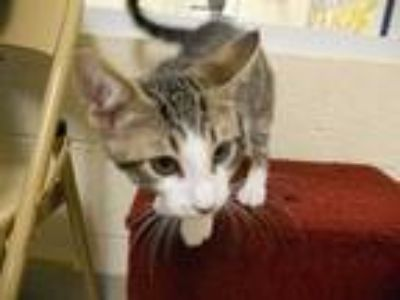 Adopt FLASH a Brown Tabby Domestic Shorthair / Mixed (short coat) cat in Vero