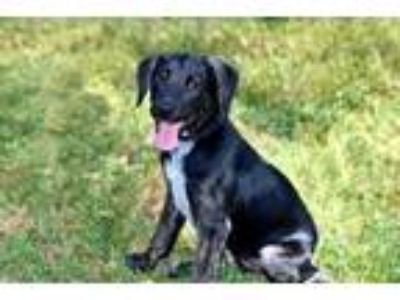 Adopt PUPPY JEWEL a Black - with White Mountain Cur / Mixed dog in richmond
