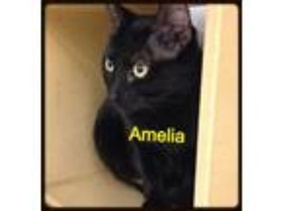 Adopt Amelia a All Black Domestic Shorthair / Mixed cat in Baton Rouge