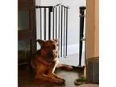 Adopt Noah a Red/Golden/Orange/Chestnut Shepherd (Unknown Type) / Mixed dog in