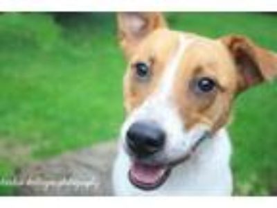 Adopt Skipper a Border Collie, Jack Russell Terrier