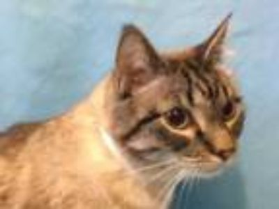 Adopt Cash a Cream or Ivory Siamese / Mixed cat in Golden Valley, MN (26212823)