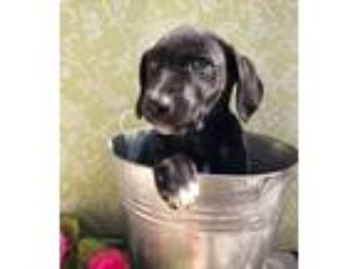 Adopt Tomas a Black - with White Labrador Retriever dog in Sedalia