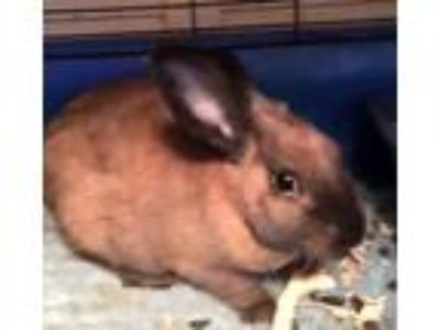 Adopt SYDNEY a Other/Unknown / Mixed rabbit in Pacific Grove, CA (19670613)