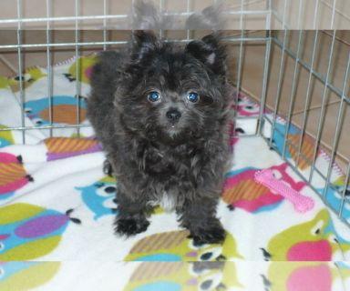 Yoranian PUPPY FOR SALE ADN-130311 - Porkie Puppy TEACUP