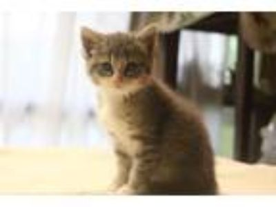 Adopt Rosa a Domestic Shorthair cat in Conway, AR (25338037)