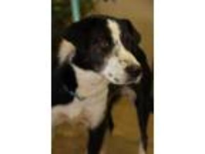 Adopt Chicken Nugget a Black Border Collie / Mixed dog in Cleveland