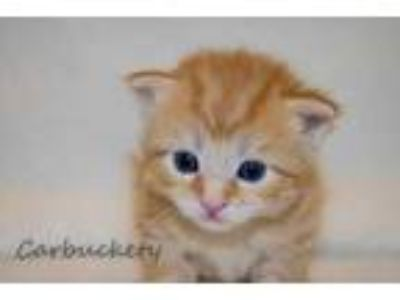 Adopt Carbuckety a Orange or Red Domestic Shorthair / Domestic Shorthair / Mixed