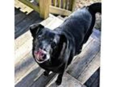 Adopt Sam a Black Labrador Retriever / Chow Chow / Mixed dog in Laurel