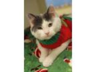 Adopt Dylan a White Domestic Mediumhair / Mixed cat in Independence
