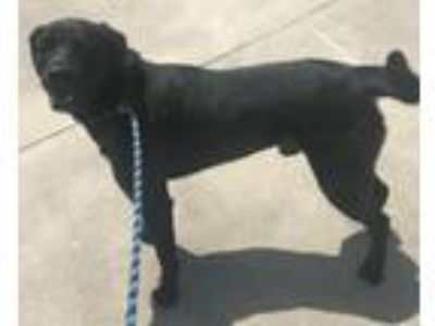 Adopt Tucker a Labrador Retriever