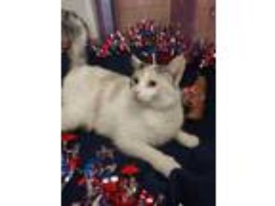 Adopt Hurshey a White Domestic Shorthair / Domestic Shorthair / Mixed cat in