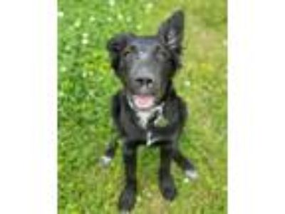 Adopt Licorice a Border Collie, Labrador Retriever