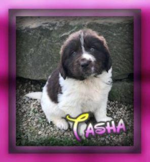 Tasha Female Newfoundland
