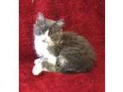 Adopt Frenchie a Maine Coon, Domestic Medium Hair