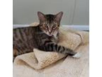 Adopt Truman a Tan or Fawn Tabby Domestic Shorthair (short coat) cat in