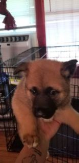 Akita PUPPY FOR SALE ADN-101719 - Adorable Akitas
