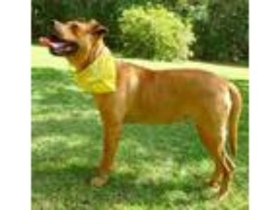 Adopt Gwendolyn a Red/Golden/Orange/Chestnut American Pit Bull Terrier / Mixed