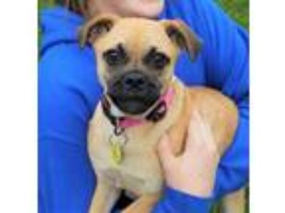 Adopt Dandy a Tan/Yellow/Fawn Terrier (Unknown Type, Small) / Pug / Mixed dog in