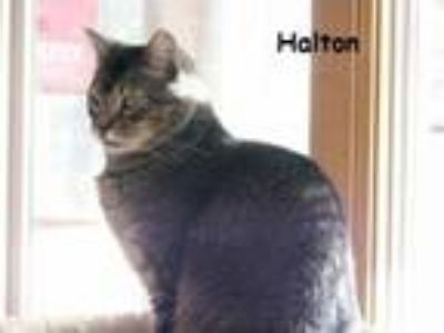 Adopt Halton a Domestic Short Hair, Tabby